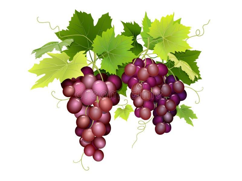 Drie bossen van druiven het hangen stock illustratie