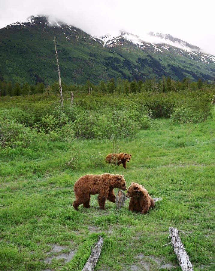 Drie bruine beren in Alyeska stock foto