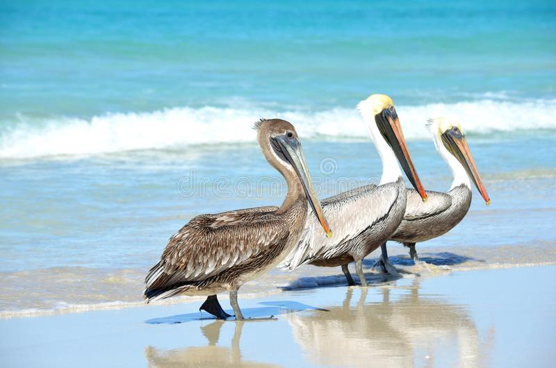 Drie Bruine occidentalis die van Pelikanenpelecanus op het strand onder mensen in Varadero Cuba lopen royalty-vrije stock fotografie
