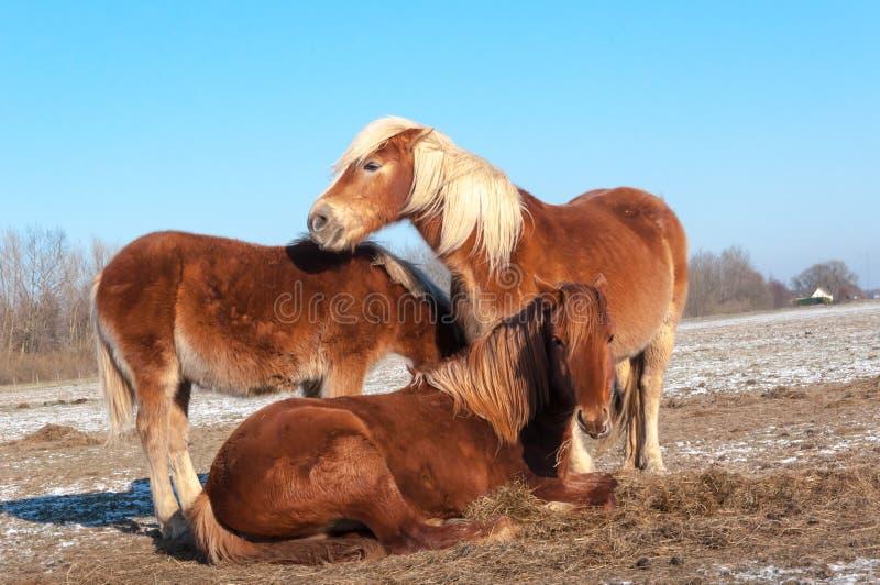 Drie bruine paarden in de winter stock afbeelding