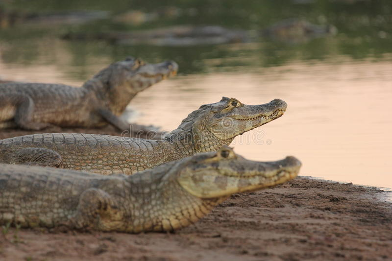 Drie caimans in Pantanal stock afbeelding