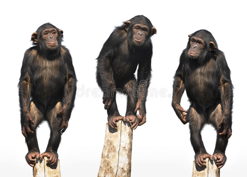 Drie chimpansees royalty-vrije stock afbeeldingen