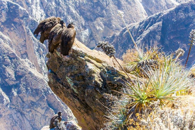 Drie Condors bij Colca-canionzitting, Peru, Zuid-Amerika. Dit is een condor de grootste vliegende vogel stock foto's