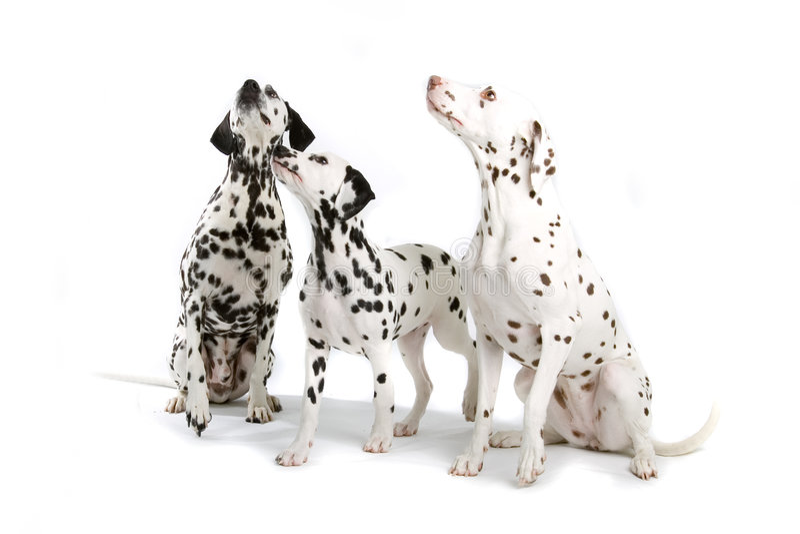 Drie Dalmatians stock foto's