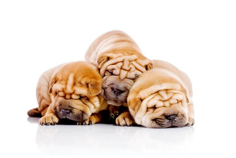 Drie de babyhonden van Shar Pei stock foto's