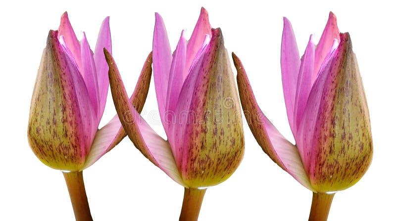Drie de roze die bloem van de lotusbloemknop op witte achtergronden, waterlelie wordt geïsoleerd stock foto