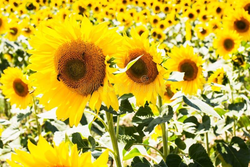 Drie dichte omhoog mooie zonnebloemen op een rij bij royalty-vrije stock foto