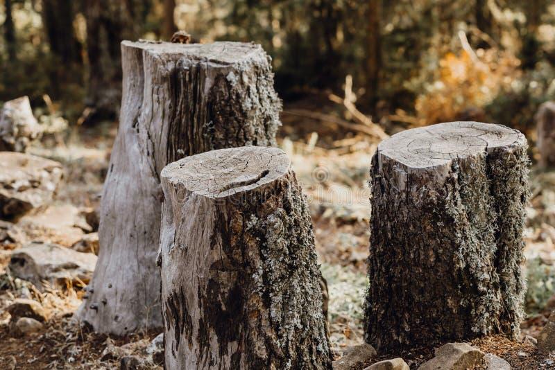 Drie die bomen in het bos naast elkaar worden verminderd stock foto's