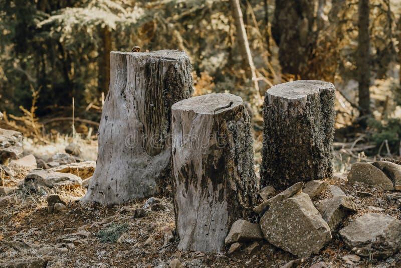Drie die bomen in het bos naast elkaar worden verminderd royalty-vrije stock foto