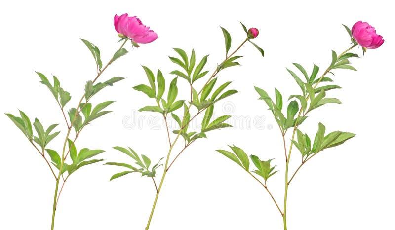 Drie donkere roze pioenbloemen met groene bladeren op wit royalty-vrije stock foto's
