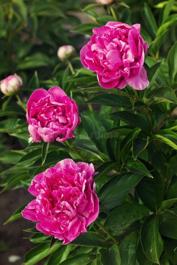 Drie donkere roze pioenen in de tuin, het uitstekende stemmen royalty-vrije stock foto's