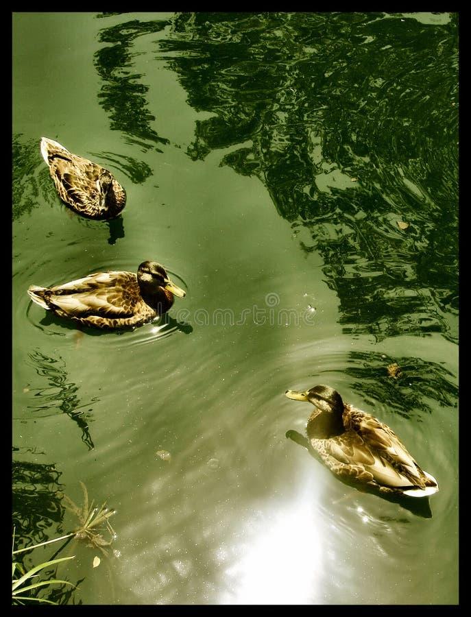 Drie Eenden die in meer zwemmen stock afbeeldingen