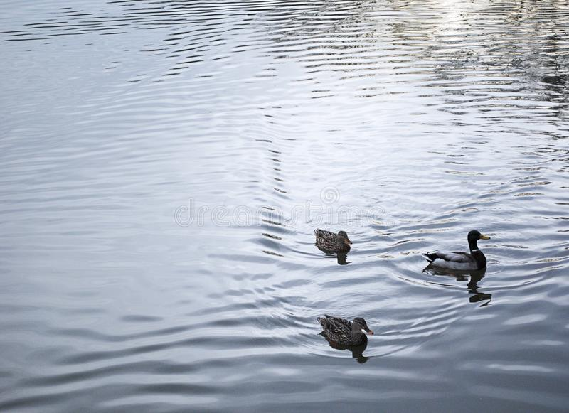 Drie Eenden die in Vijver zwemmen royalty-vrije stock foto