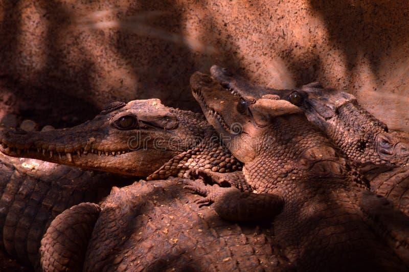 Drie estuarine krokodilhoofd royalty-vrije stock afbeelding