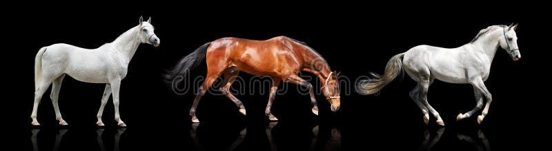 Drie geïsoleerdee paarden stock foto's