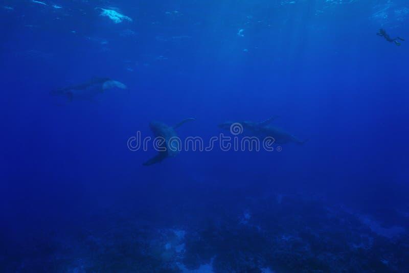 Drie gebocheldewalvis onderwater met een snorkeler royalty-vrije stock afbeeldingen