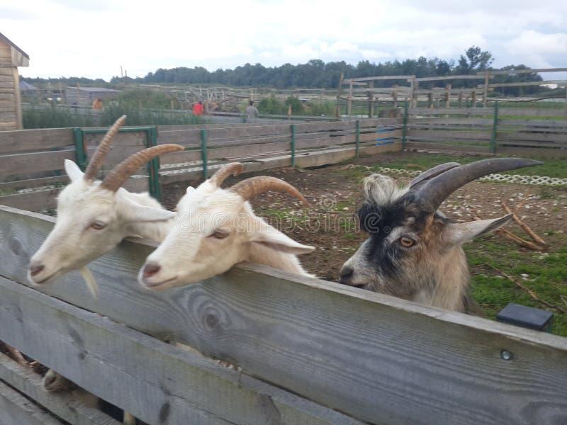 Drie geiten na de omheining stock afbeeldingen