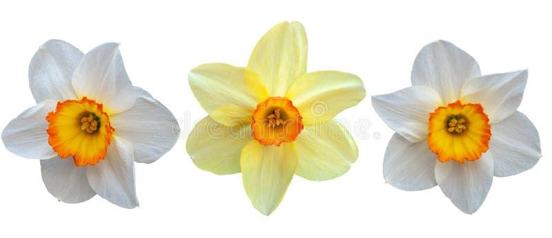 Drie gele narcissen Isoleer op witte achtergrond stock fotografie