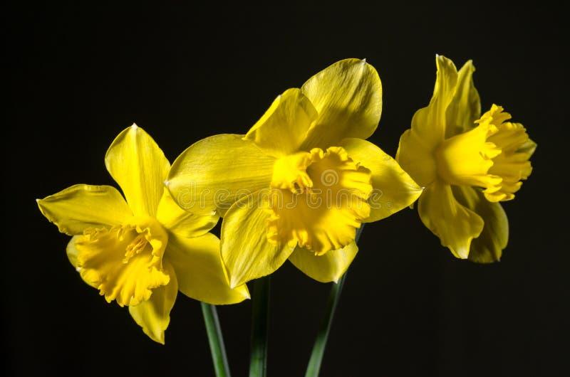 Drie gele gele narcissen op een donkere achtergrond stock foto's