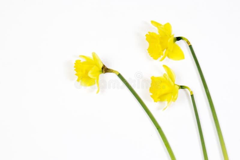 Drie gele narcissuses op een witte houten lijst stock foto's