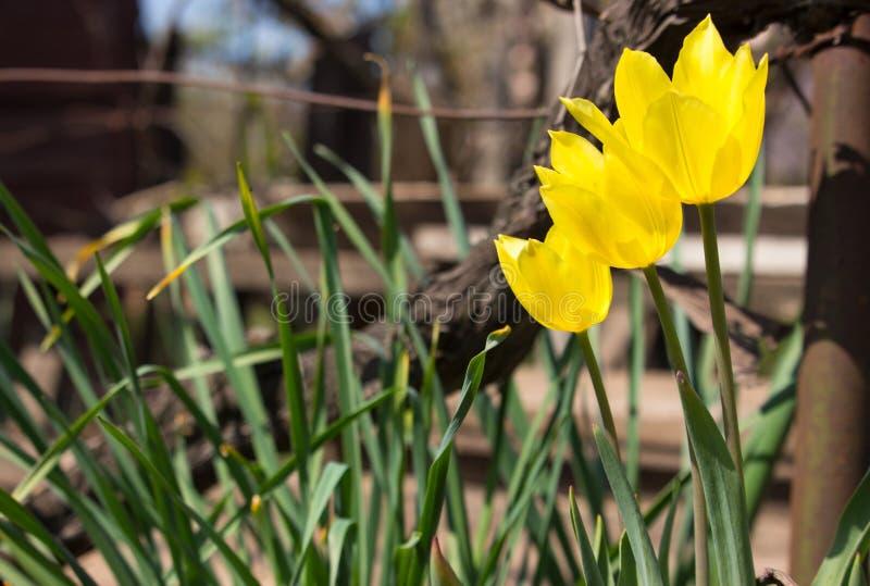 Drie gele tulpen in de lentetuin Drie grote bloemen met groen gras Het bloeien en bloesemconcept royalty-vrije stock afbeelding
