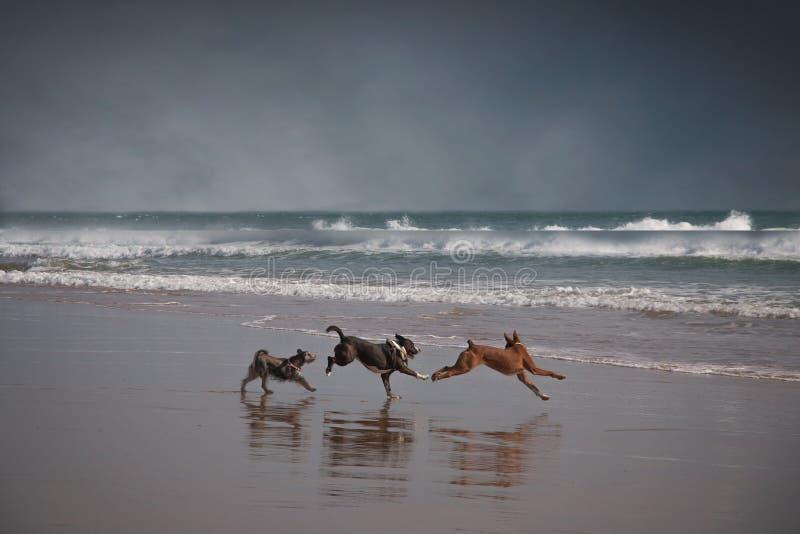 Drie gelukkige honden die op strand spelen stock fotografie