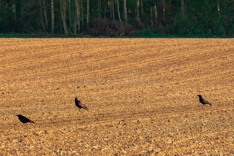 Drie gemeenschappelijke raven, Corvus corax, op vers harrowed gebied in de lente stock foto