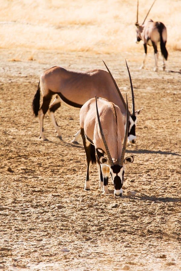 Drie Gemsbok in de woestijn van Kalahari royalty-vrije stock fotografie