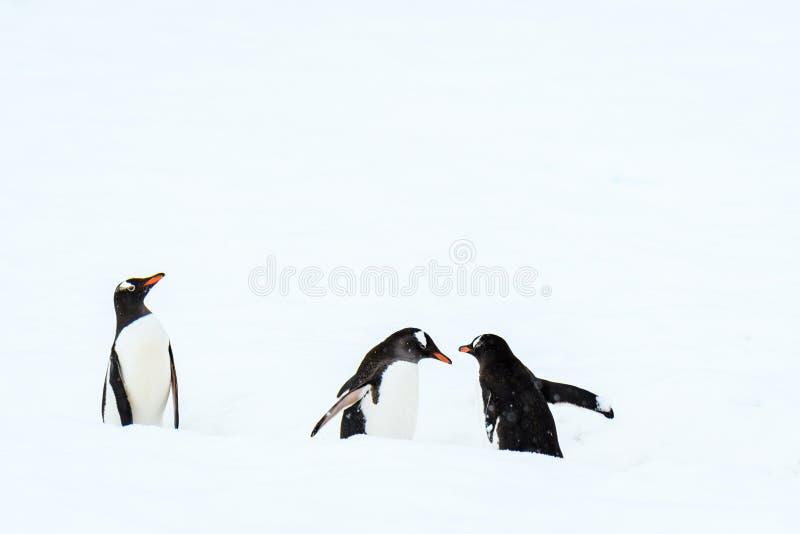 Drie Gentoo-pinguïnen die op een pinguïnweg reizen in snowfield, Danco-Eiland, Antarctica stock foto