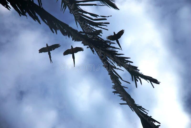 Drie gesilhouetteerde papegaaien die boven vliegen royalty-vrije stock afbeeldingen