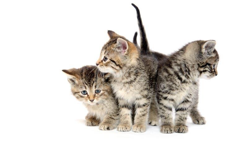 Drie gestreepte katkatjes royalty-vrije stock fotografie