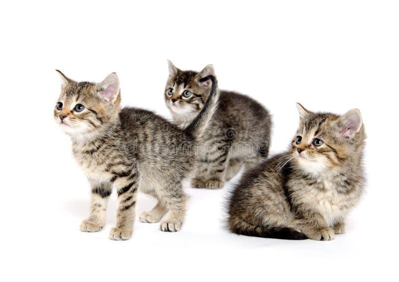 Drie gestreepte katkatjes stock fotografie