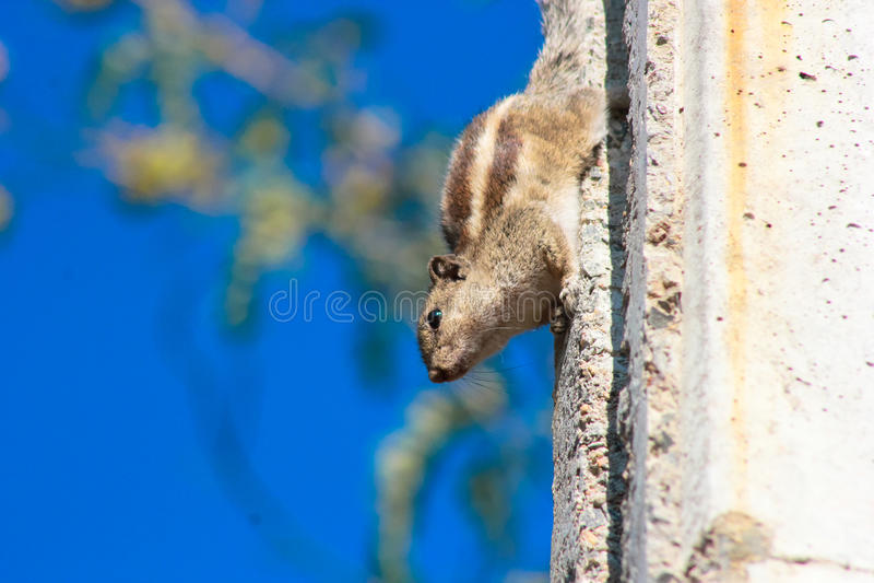 Drie gestreepte palmeekhoorn royalty-vrije stock fotografie