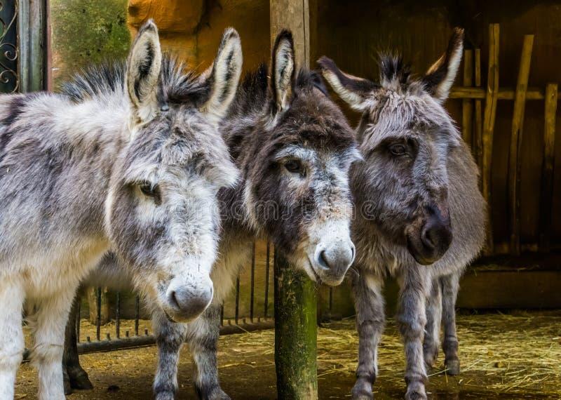 Drie gezichten van miniatuurezels in close-up, grappig dierlijk familieportret, populaire landbouwbedrijfdieren en huisdieren stock afbeeldingen