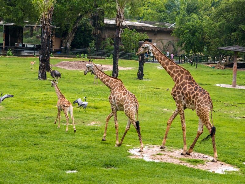 Drie giraffamilie op de achtergrond van het dierentuin groene gras met vrienden in Thailand royalty-vrije stock fotografie
