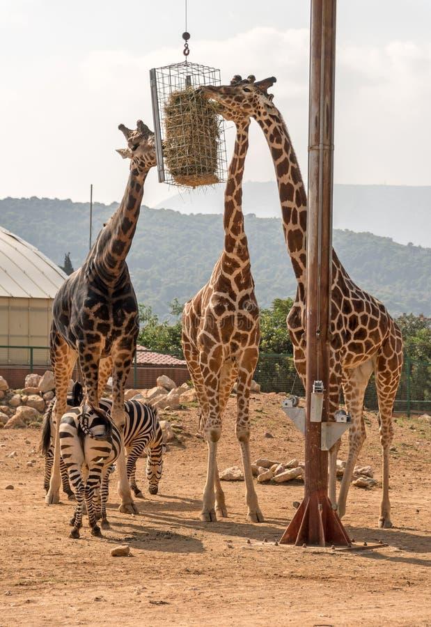 Drie giraffen en twee zebras royalty-vrije stock foto's