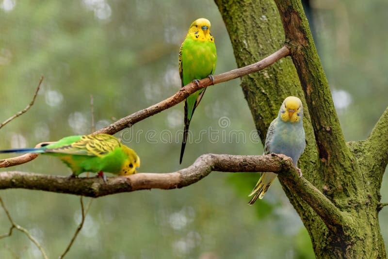 Drie Grasparkieten, papegaaien met lange staart, met gele, blauwe, groene veren zitten op de tak Melopsittacusundulatus stock fotografie