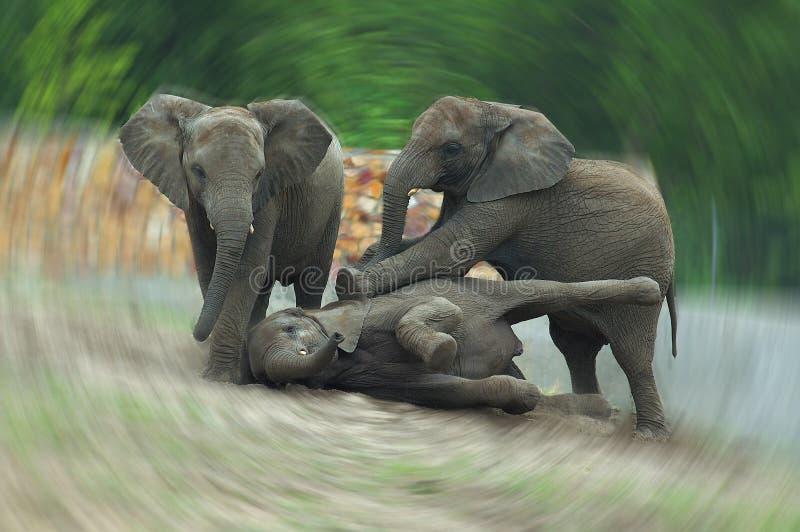 Drie grijze Afrikaanse olifanten die in een dierentuin op een de zomerdag spelen royalty-vrije stock foto's