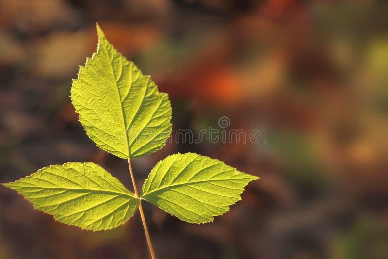 Drie groene bladeren royalty-vrije stock foto