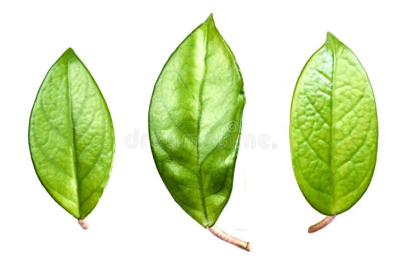 Drie grote bladeren royalty-vrije stock afbeeldingen