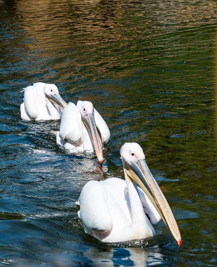 Drie Grote Witte Pelikanen royalty-vrije stock afbeelding