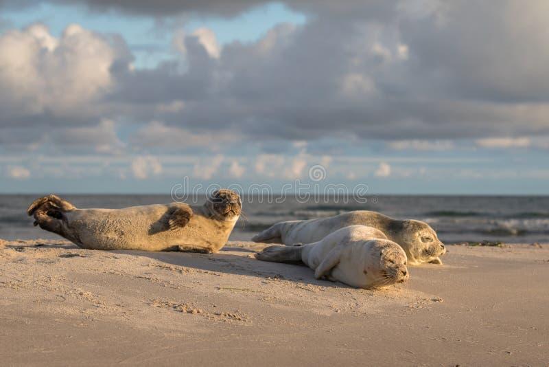 Drie Havenverbindingen, Phoca-vitulina, die op het strand rusten Vroege ochtend in Grenen, Denemarken royalty-vrije stock foto's