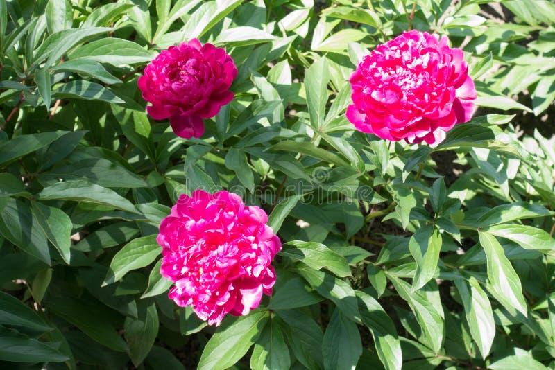Drie heldere magenta dubbele pioenbloemen royalty-vrije stock fotografie