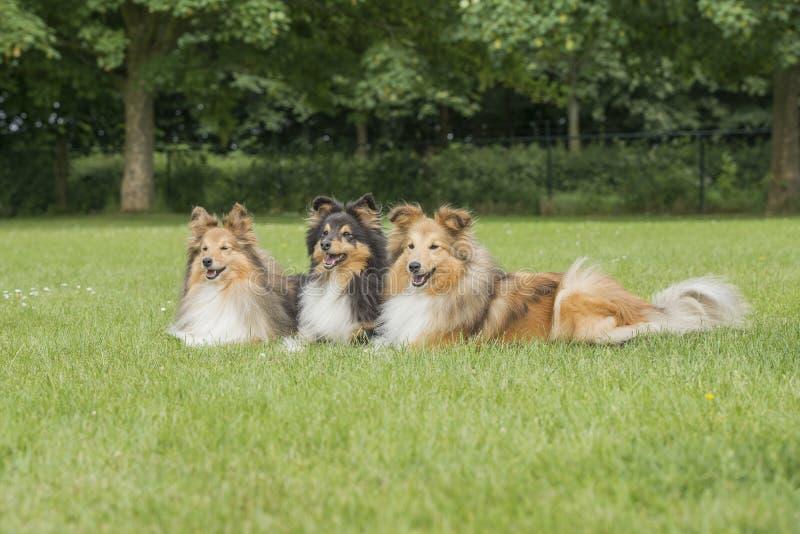 Drie herdershonden die van Shetland op een grasgebied liggen royalty-vrije stock foto