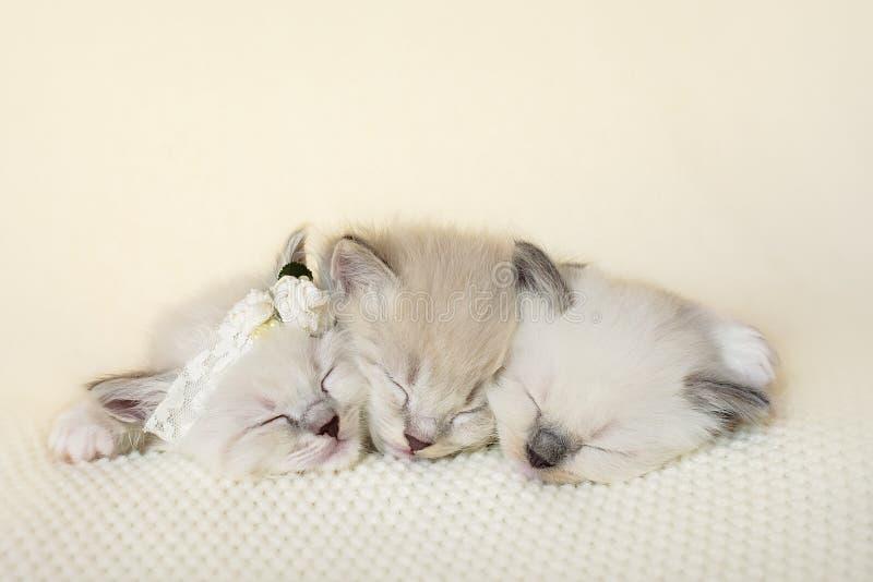 Drie het aanbiddelijke katjes nestelen zich stock afbeelding