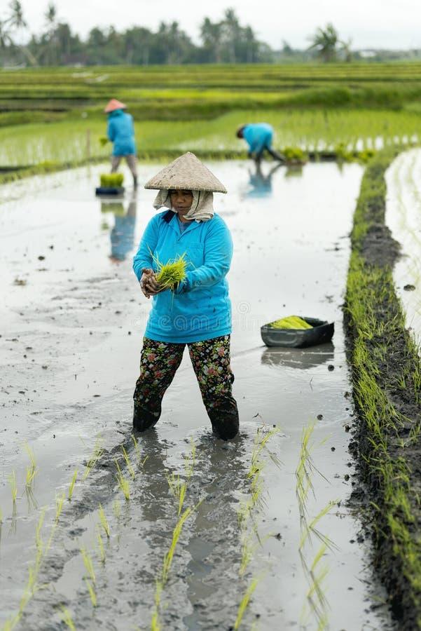 Drie het terraslandbouwers die van de vrouwenrijst in het rijstterras werken royalty-vrije stock foto