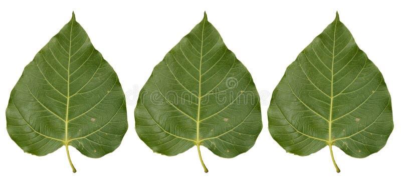 Drie het Tropische die blad van gebladertebo op witte achtergronden wordt geïsoleerd royalty-vrije stock foto