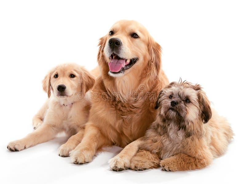 Drie Honden stock afbeeldingen