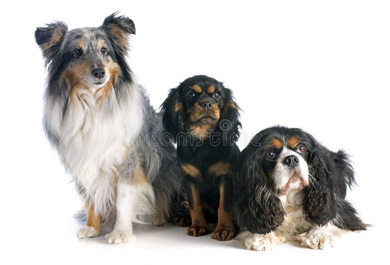 Download Drie honden stock foto. Afbeelding bestaande uit herdershond - 39104148