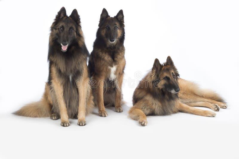 Drie honden, Belgische Herder geïsoleerd Tervuren, stock fotografie